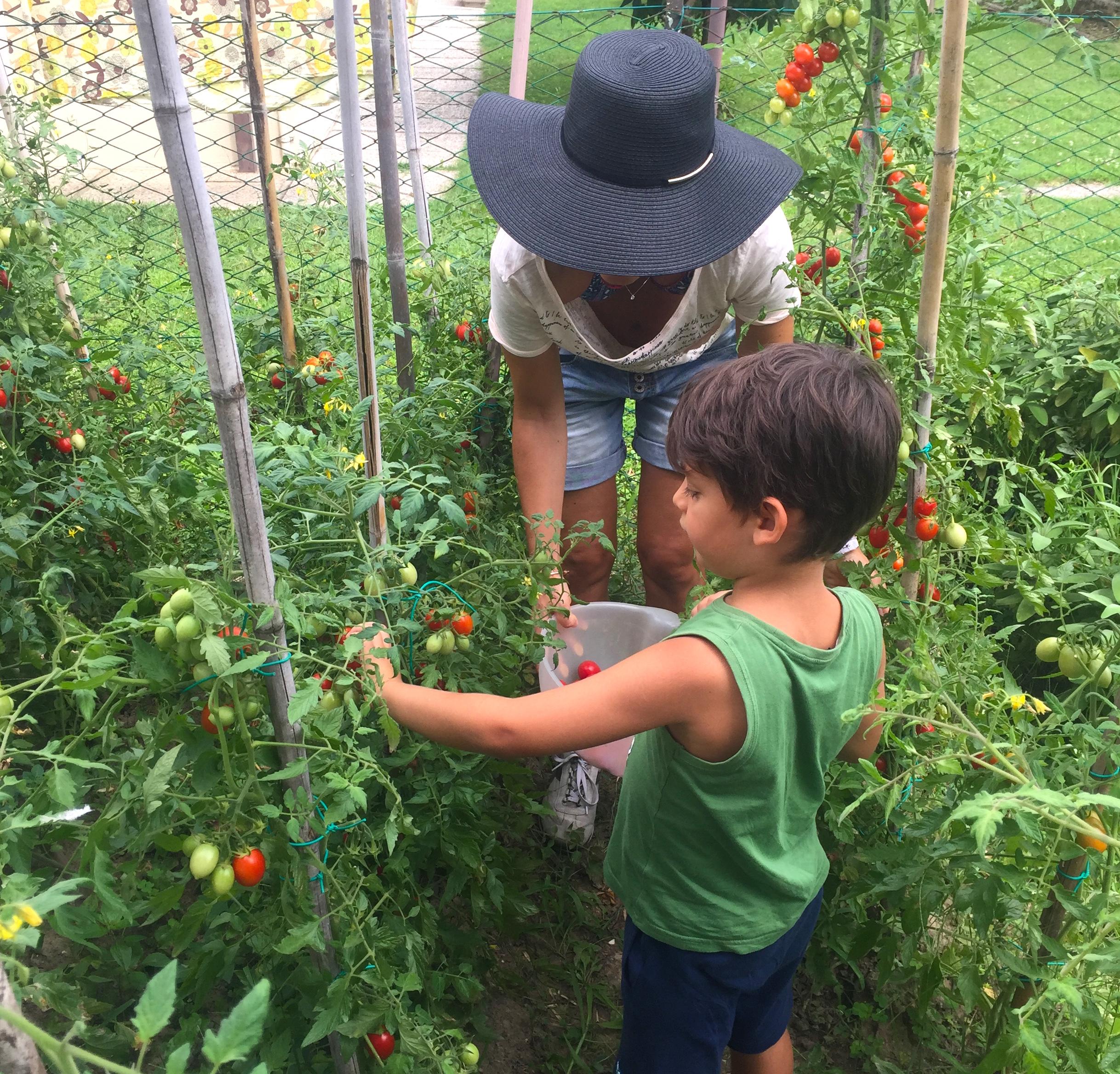 Raccolta pomodori orto